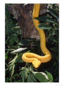 386515eyelash-viper-snake-costa-rica-posters