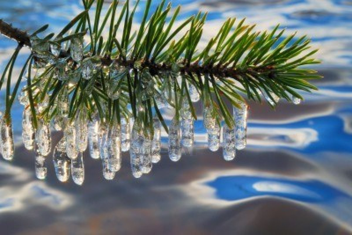 2466553-pine-branch-with-icicles[1]