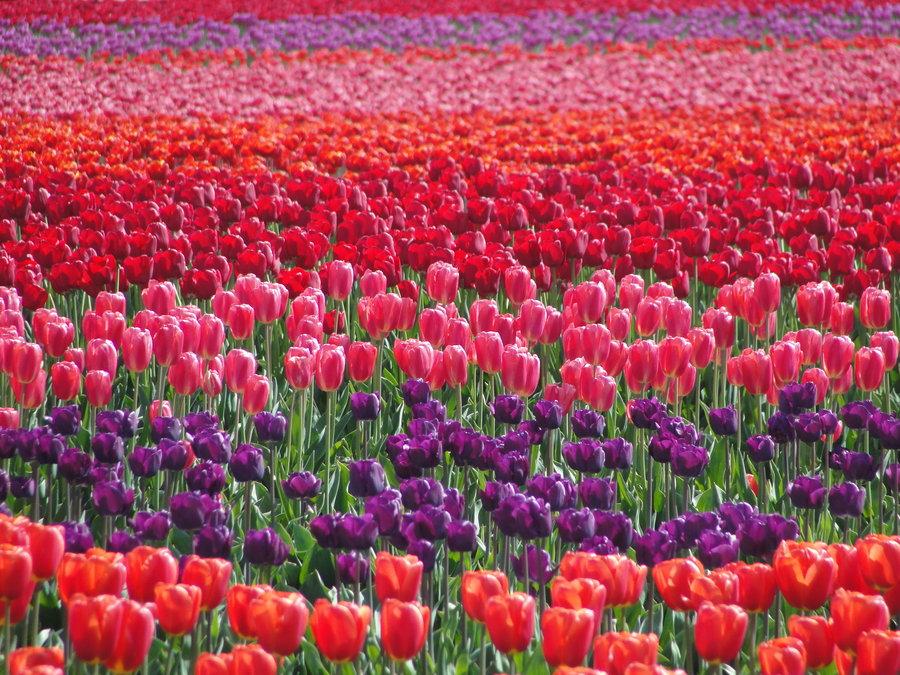 tulip_field_by_kitsunekari02-d3fftka